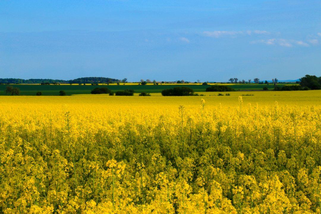 fotografia zdjęcie foto krajobrazy kwiaty rzepak
