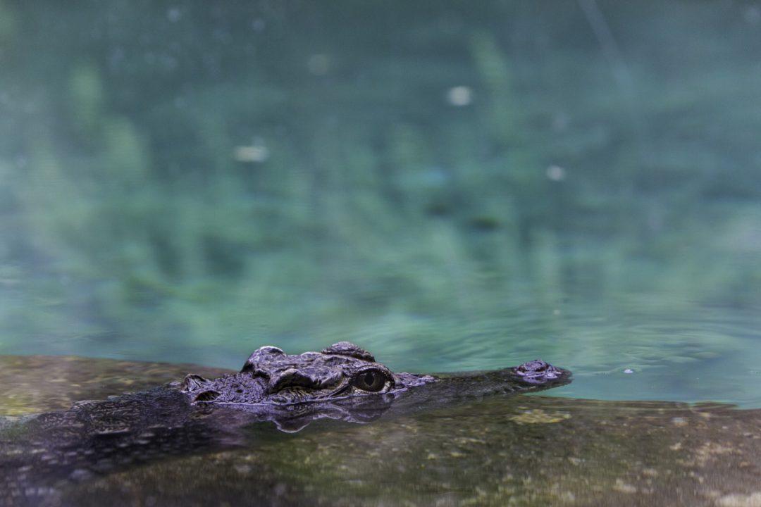 fotografia zdjęcie foto przyroda zwierzęta aligator krokodyl